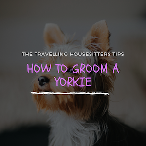 How to Groom a Yorkie (Step-by-Step Guide)