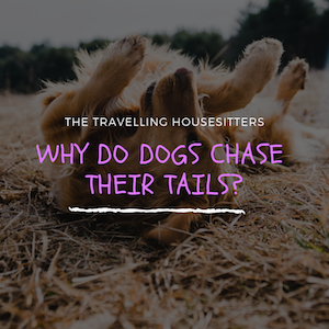 Why Do Dogs Chase Their Tails? (Its Actually Quite Interesting)