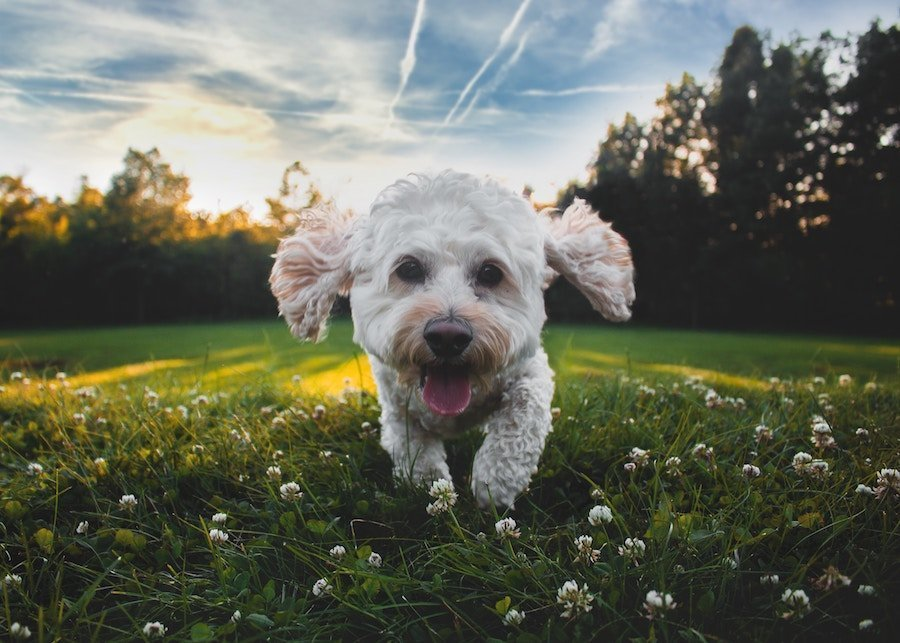 Happy Dog Running in The Sun