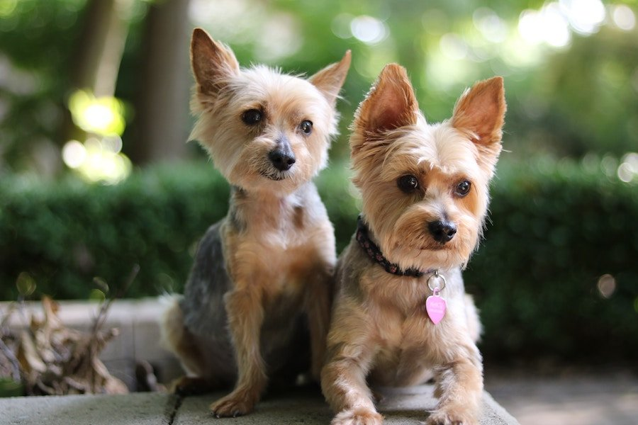 Two Freshly Groomed Yorkies