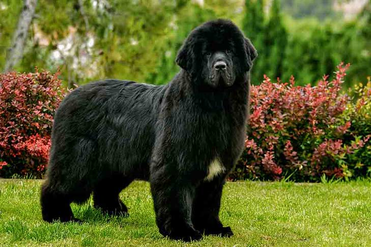 House Sitting A Newfoundland Dog in New Zealand